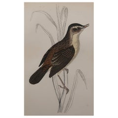 Original Antique Bird Print, the Sedge Warbler, circa 1870