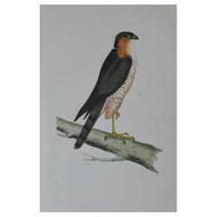 Original Antique Bird Print, the Sparrow-Hawk, circa 1850