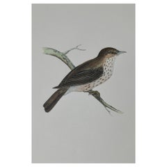 Original Antique Bird Print, the Spotted Flycatcher, circa 1850