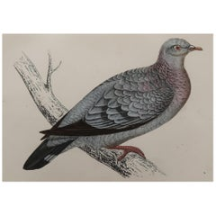 Original Antique Bird Print, the Stock Dove, circa 1870