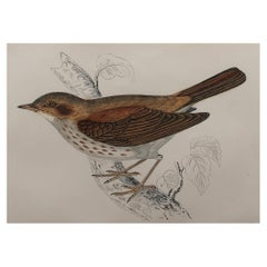 Original Antique Bird Print, the Thrush Nightingale, circa 1870