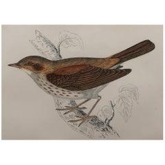 Original Antique Bird Print, the Thrush Nightingale, circa 1870