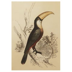 Original Antique Bird Print, the Toucan, Tallis circa 1850