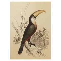 Original Antique Bird Print, the Toucan, Tallis, circa 1850
