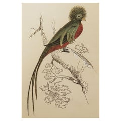 Original Antique Bird Print, the Trogon, Tallis circa 1850