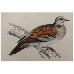Original Antique Bird Print, the Turtle Dove, circa 1870