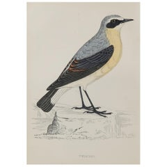 Original Antique Bird Print, the Wheatear, circa 1870