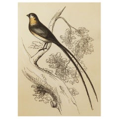 Original Antique Bird Print, the Whidah Finch, Tallis circa 1850