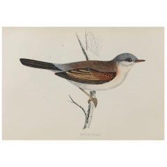 Original Antique Bird Print, the Whitethroat, circa 1870