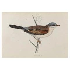 Original Antique Bird Print, the Whitethroat, circa 1870