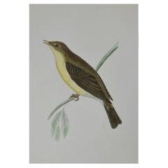 Original Antique Bird Print, the Willow Warbler, circa 1850
