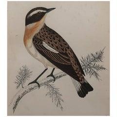 Original Antique Bird Print, the Winchat, circa 1870