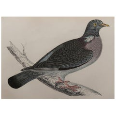 Original Antique Bird Print, the Wood Pigeon, circa 1870