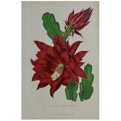 Original Antique Botanical Print - Cactus Jenkinsonii. Unframed, circa 1850