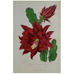 Original Antique Botanical Print, Cactus Jenkinsonii, Unframed, circa 1850