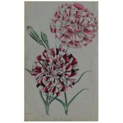 Original Antique Botanical Print - May's Romeo.  Unframed, circa 1850