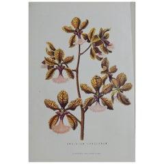 Original Antique Botanical Print - Orchid Onchinium. Unframed, circa 1850