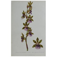 Original Antique Botanical Print -Orchid Zygopetalum. Unframed, circa 1850