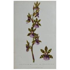 Original Antique Botanical Print Orchid Zygopetalum, Unframed, circa 1850