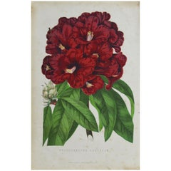 Original Antique Botanical Print - Rhododendron. Unframed, circa 1850