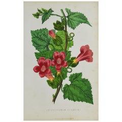 Original Antique Botanical Print -Rose Lophosperum. Unframed, circa 1850
