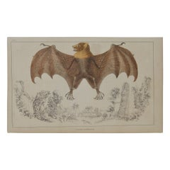 Original Antique Print of a Bat, 1847 'Unframed'