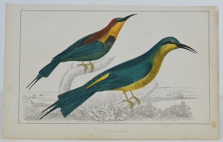 Great image of a bee-eater  Unframed. It gives you the option of perhaps making a set up using your own choice of frames.  Lithograph after Cpt. Brown with original hand color.  Published 1847.  Free shipping.