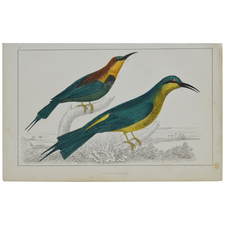 Original Antique Print of a Bee-Eater, 1847 'Unframed' For Sale