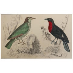 Original Antique Print of a Fruit Crow, 1847 'Unframed'