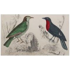 Original Antique Print of a Fruit Crow, 1847 'Unframed'