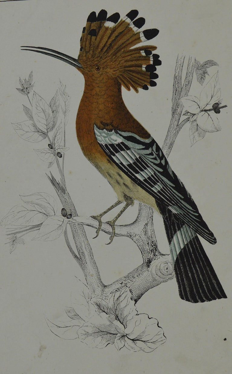 Great image of a hoopoe  Unframed. It gives you the option of perhaps making a set up using your own choice of frames.  Lithograph after Cpt. Brown with original hand color.  Published 1847.  Free shipping.