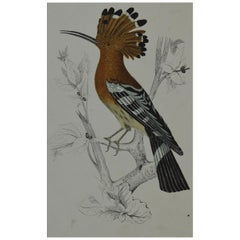 Original Antique Print of a Hoopoe, 1847 'Unframed'