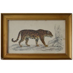 Original Antique Print of a Jaguar, 1847