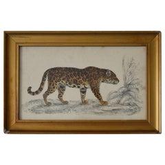 Original Antique Print of a Jaguar, 1847