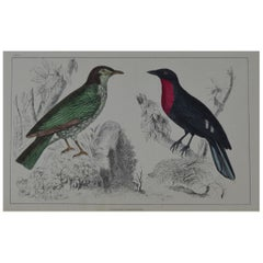 Original Antique Print of a Red Breasted Bird, 1847 'Unframed'