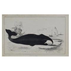Original Antique Print of a Whale, 1847 'Unframed'