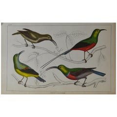 Original Antique Print of Bee-Eaters, 1847 'Unframed'