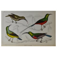 Original Antique Print of Bee-Eaters, 1847 'Unframed'