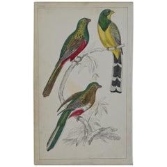 Original Antique Print of Couroucoui, 1847 'Unframed'