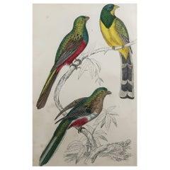Original Antique Print of Couroucoui, 1847 Unframed