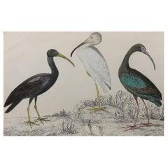 Original Antique Print of Cranes, 1847 'Unframed'