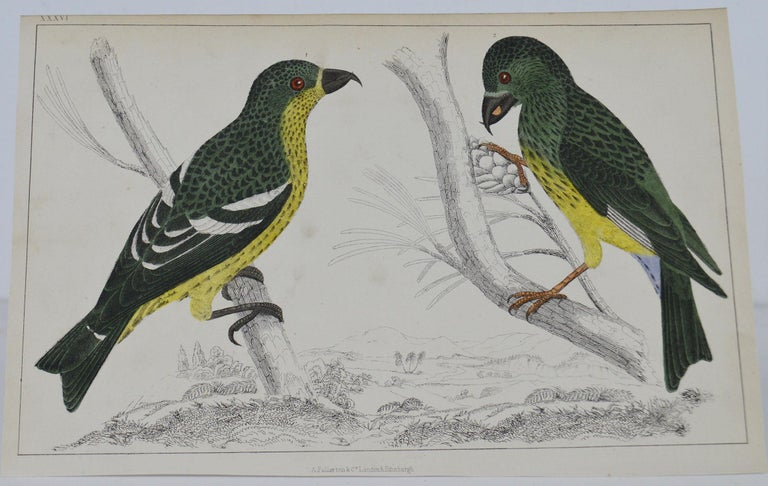 Great image of crossbills  Unframed. It gives you the option of perhaps making a set up using your own choice of frames.  Lithograph after Cpt. Brown with original hand color.  Published 1847.  Free shipping.