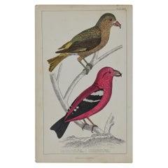 Original Antique Print of Crossbills, 1847 'Unframed'