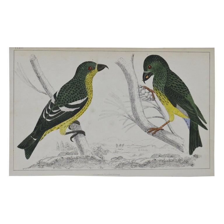 Original Antique Print of Crossbills, 1847 'Unframed' For Sale