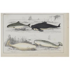 Original Antique Print of Dolphins, 1847 'Unframed'