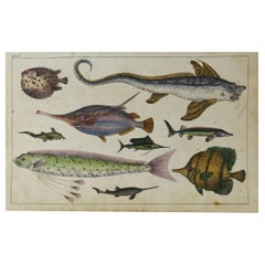 Original Antique Print of Exotic Fish, 1847 'Unframed'
