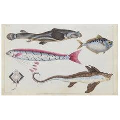 Original Antique Print of Fish, 1847 Unframed'