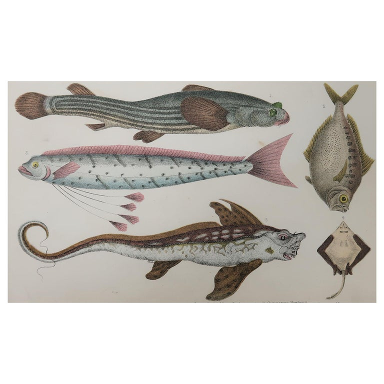 Original Antique Print of Fish, 1847 Unframed For Sale