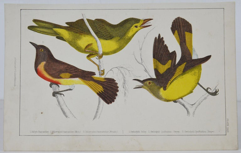 Great image of gnat-catchers  Unframed. It gives you the option of perhaps making a set up using your own choice of frames.  Lithograph after Cpt. Brown with original hand color.  Published 1847.  Free shipping.