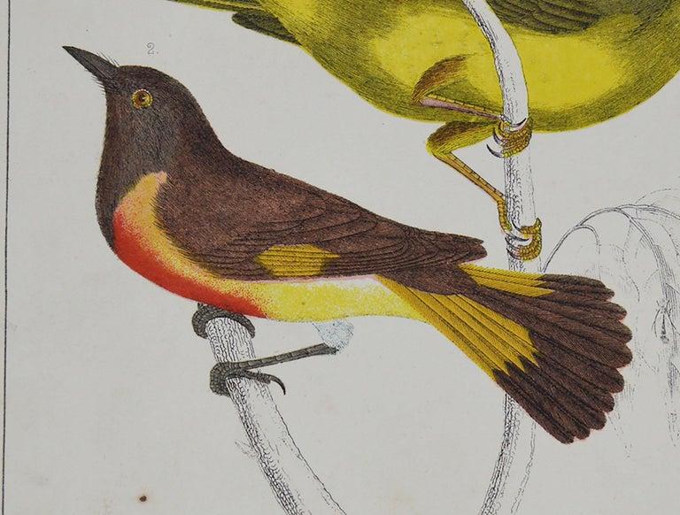 Folk Art Original Antique Print of Gnat-Catchers, 1847 'Unframed' For Sale